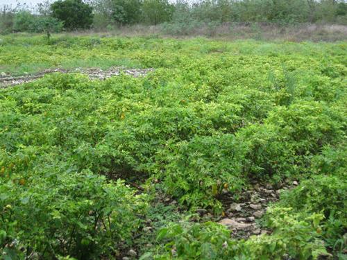 ハバネロ畑